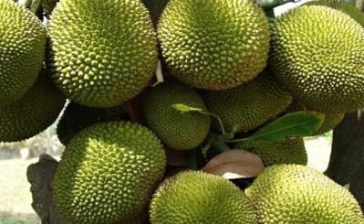 Jackfruit Mandala - Outer Skin
