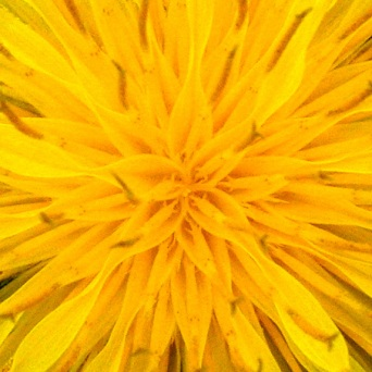 Center of a Dandelion