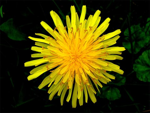 Yellow Dandelion as found on Wikipedia