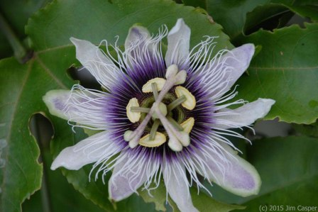 Passion Flower Mandala - photo by Jim Casper