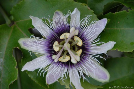 Passion Flower Mandala - photo by Jim Casper