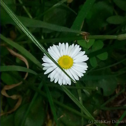 Daisy Mandala - Photograph by Kay Dillon