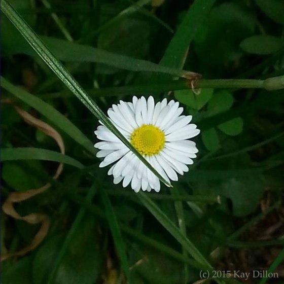 Daisy Mandala - Photograph by Kay Dillon