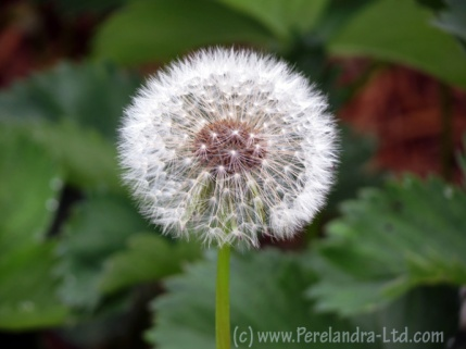 Puffy Dandelion Mandala - photograph by Perelandra-Ltd.com
