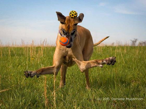 Playful Great Dane - Photograph by Danielle Mussman