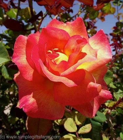 Mardi Gras Rose