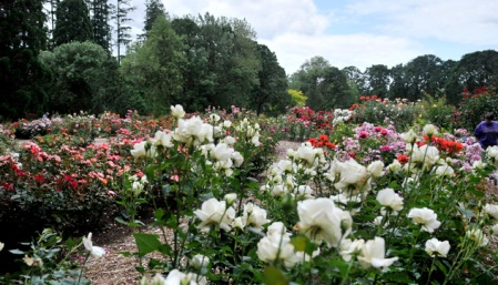 Rose Garden in Avery Park