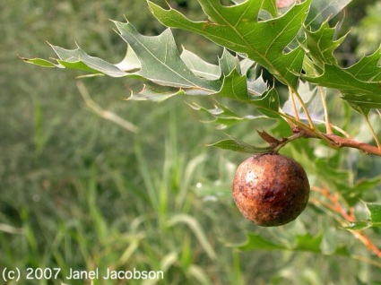 Oak Gall by Janel Jacobson