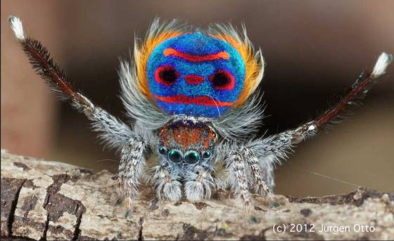 Peacock Spider - photo by Jurgen Otto