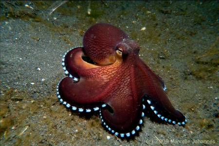 Coconut Octopus - photo by Marcelle Johannes