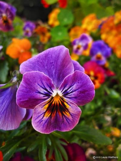 Purple Pansy by Laura Walthers