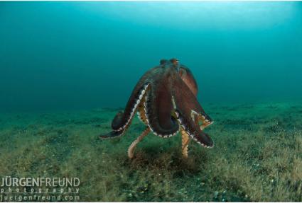 Walking Coconut Octopus - photo by Jürgen Freund