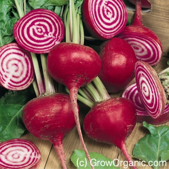 Chioggia Beets from Peaceful Valley Organic Seeds