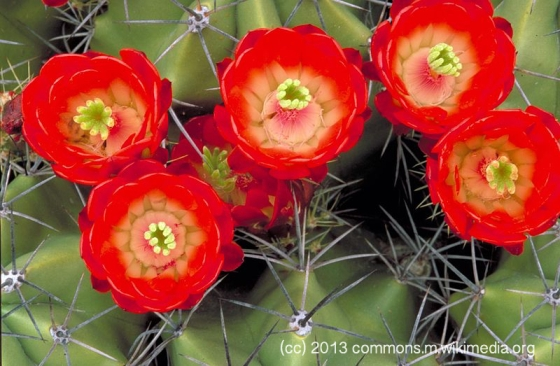 Red Cactus Blossoms