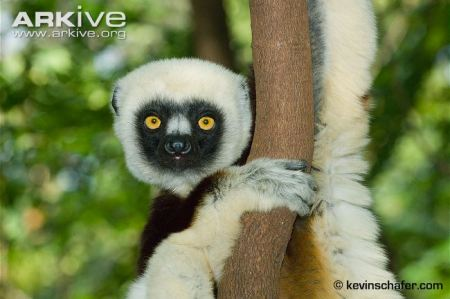 Coquerel's Sifaka - photo by Kevin Schafer
