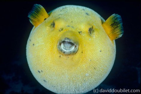Puffer Fish - photo by David Doublilet