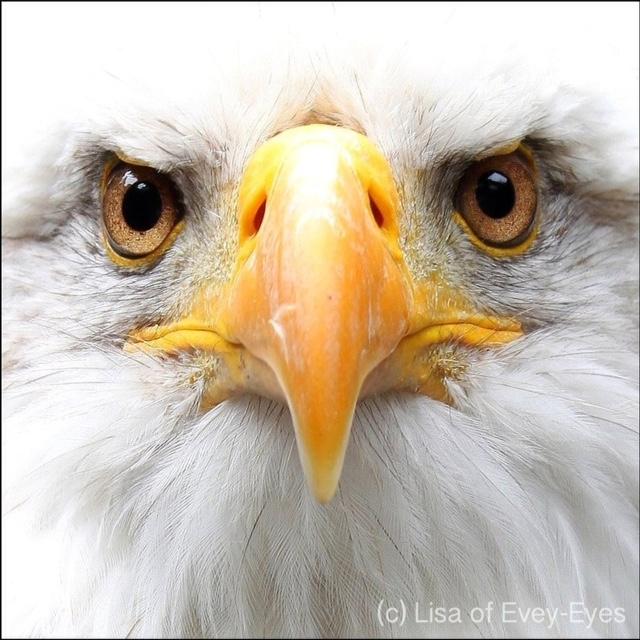 2016-081 – Eagle Eyes Mandala – Mandala of the Day