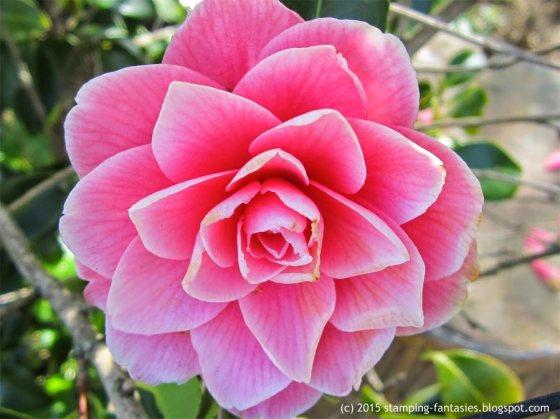 Camelia by stamping-fantasies.blogspot.com