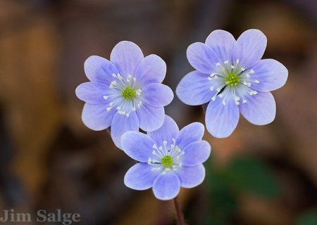 Hepatica Trio by Jim Salge
