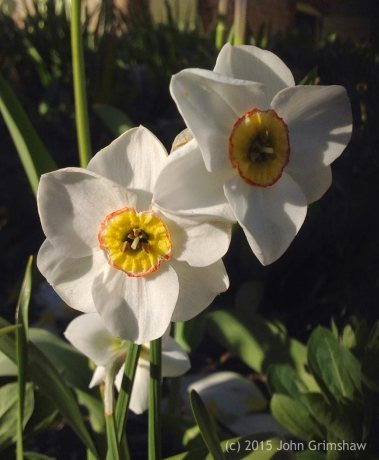 Narcissus Poeticus by John Grimshaw