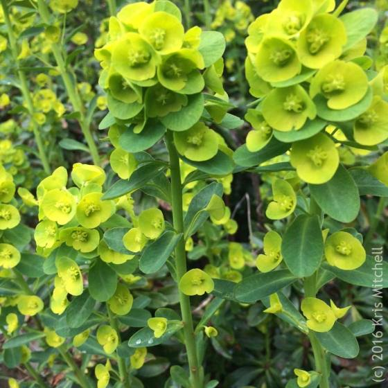Albanian Spurge - photo by Kris Mitchell