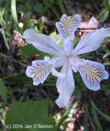 Wild Iris - photo by Jan O'Banion