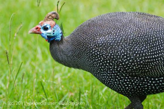 Helmeted Guineafowl - photo by gouldingken
