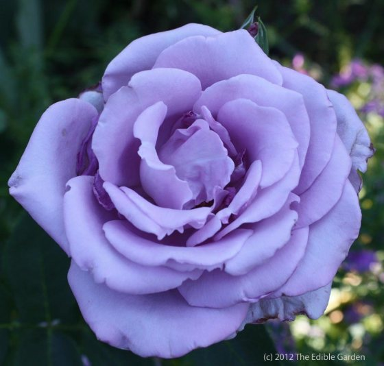 Lavender Rose - photo by The Edible Garden