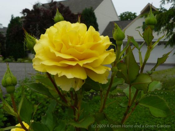 Yellow Shrub Rose - photo by Raji
