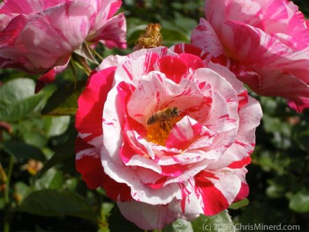 Candy Cane Rose with Bee - photo by Chris Minerd