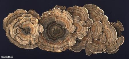 Turkey Tail Mushroom - photo by Michael Kuo