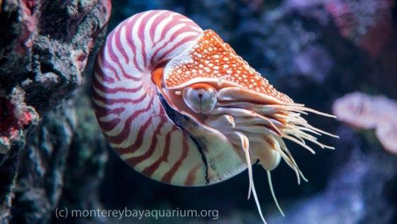 Chambered Nautilus - source: MontereyBayAquarium.org